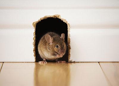 topo - ratto