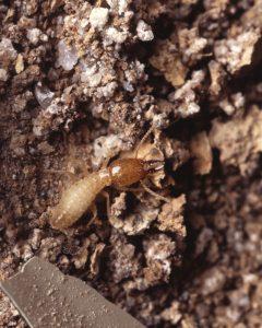 Disinfestazione da termiti del legno