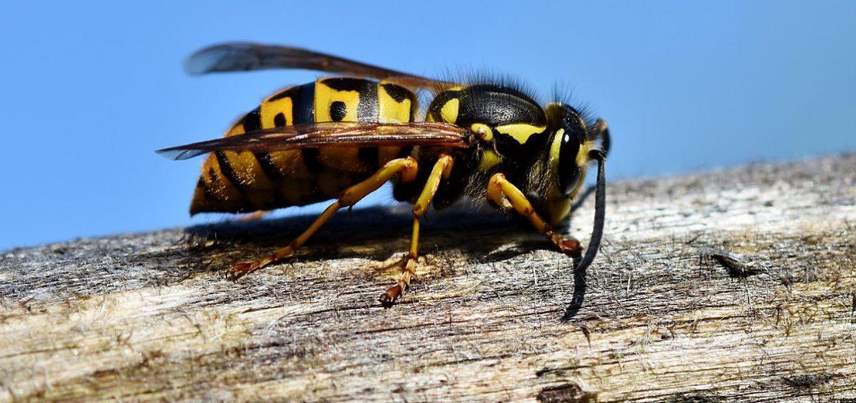 La disinfestazione da vespe e calabroni