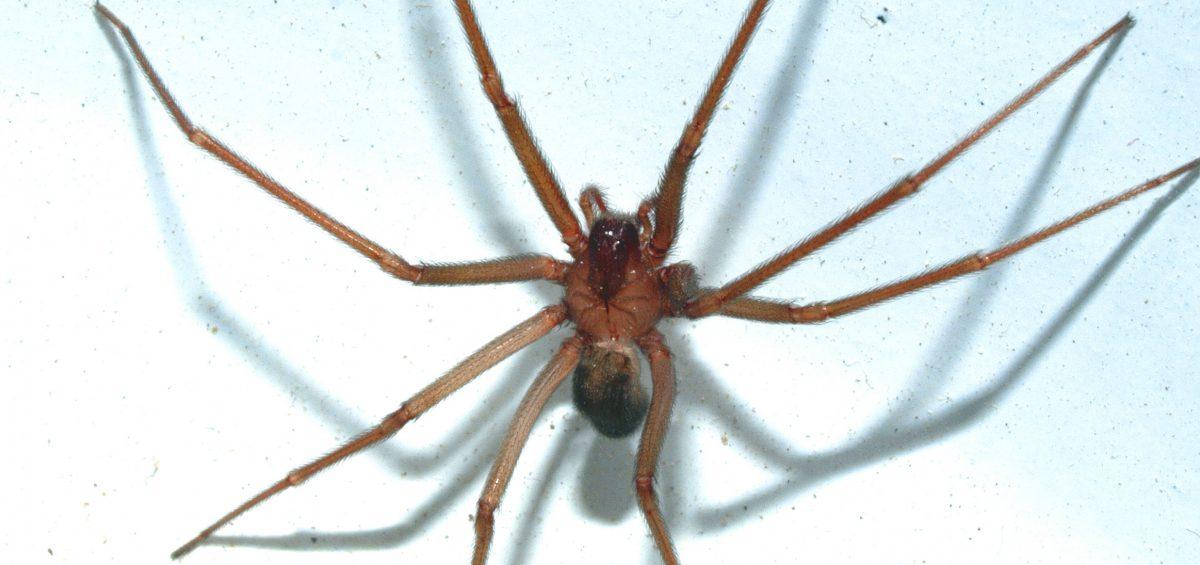 La disinfestazione da ragni, come il ragno violino