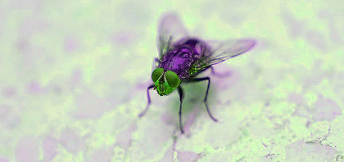 Perché le mosche vi stanno sempre intorno