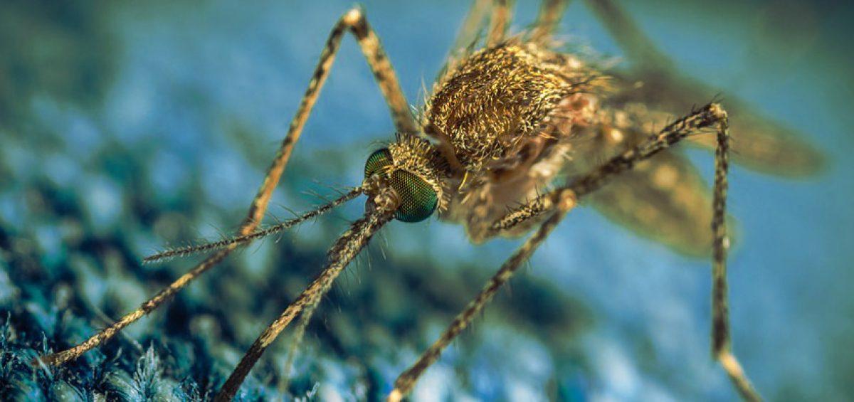 Perché le zanzare succhiano sangue