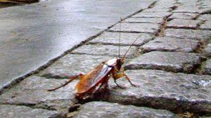 cosa mangiano scarafaggi e blatte