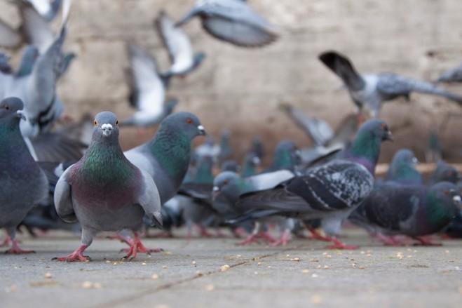 Allarme piccioni