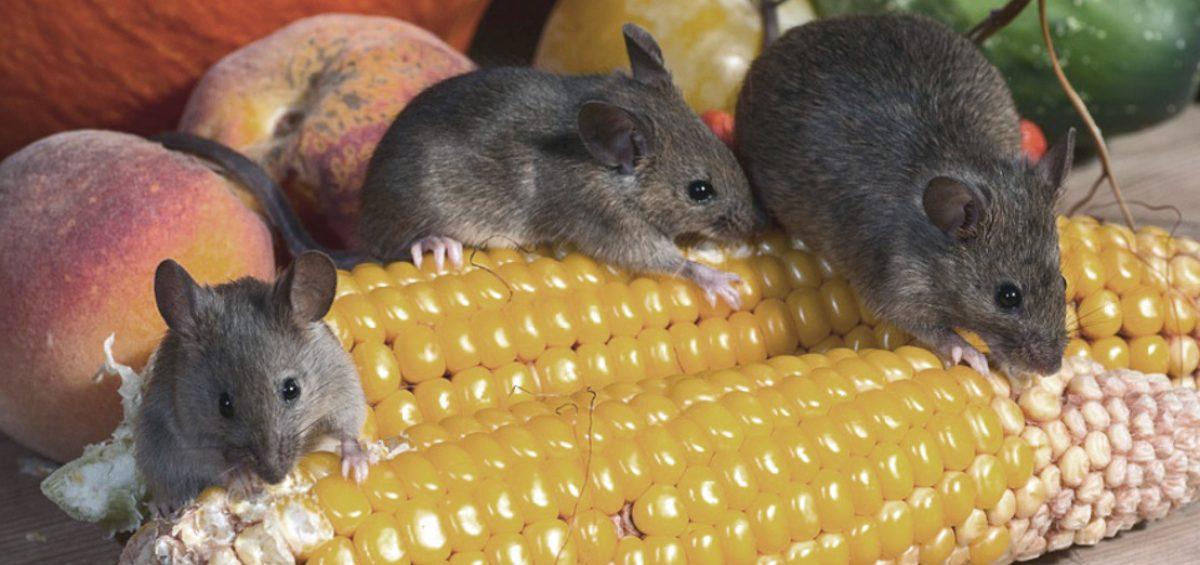 E' vero che il topo..